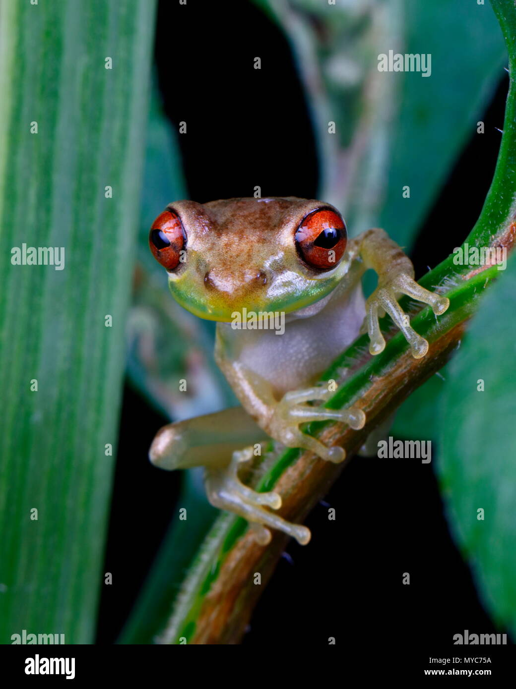 A Cuban tree frog, Osteopilus septentrionalis, foraging for food and perched in foliage. - Stock Image