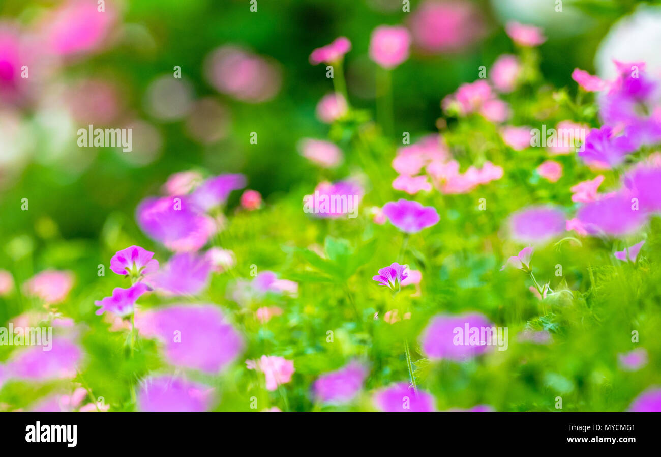 Out of focus images of colourful flowers simular to a Monet Impressionist painting. - Stock Image