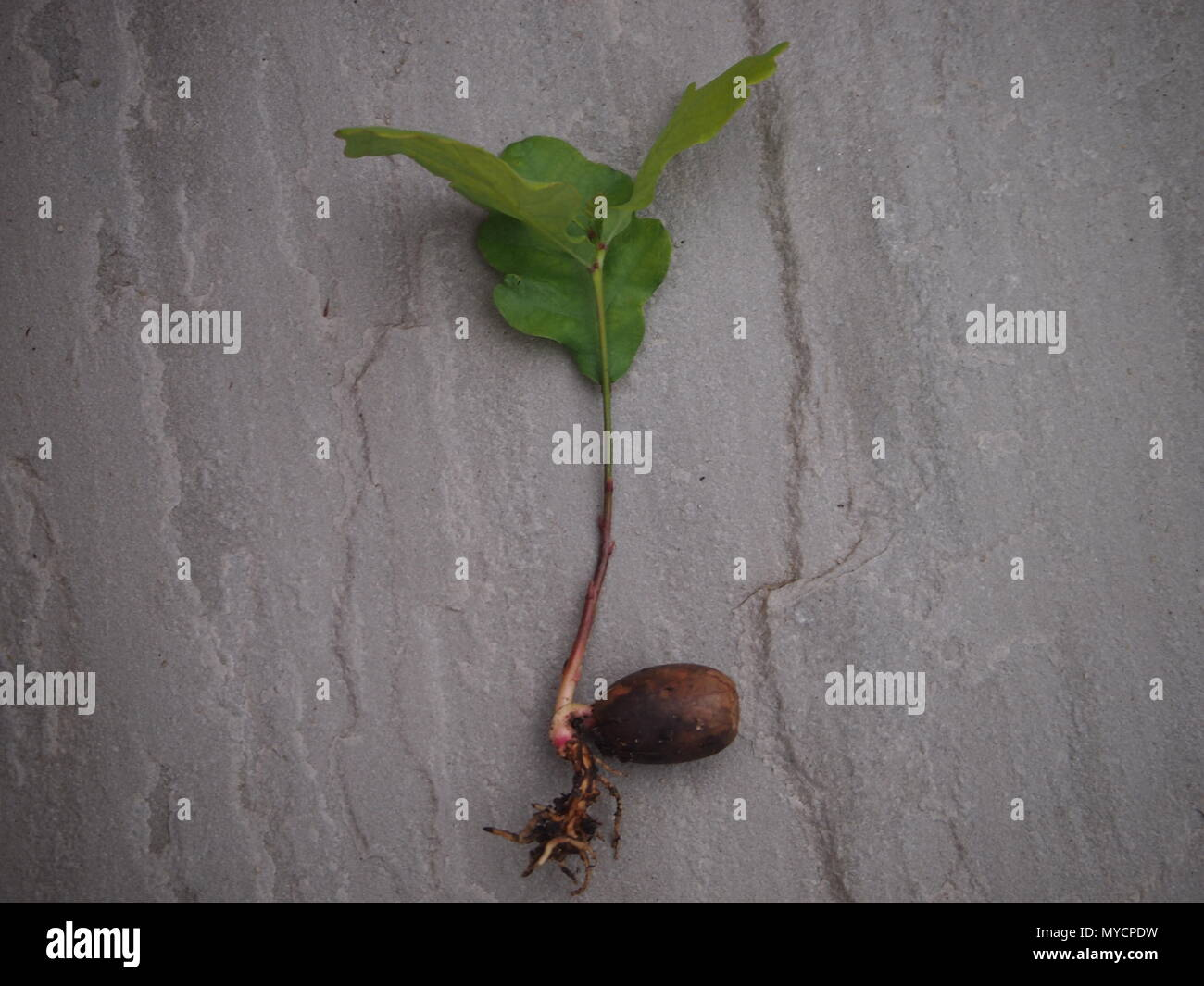 Mighty oaks from little acorns grow. Green shoots and roots emerging from an acorn. - Stock Image