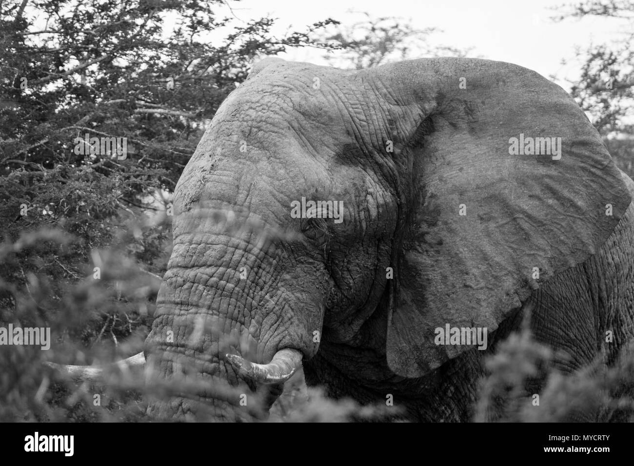 Kwazulu-Natal, South Africa: Black and white portrait of Elephant bull Stock Photo