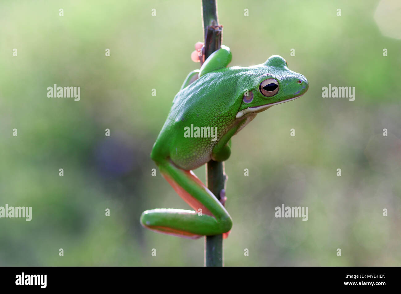 frogs, tree frogs, dumpy tree frogs on twigs - Stock Image