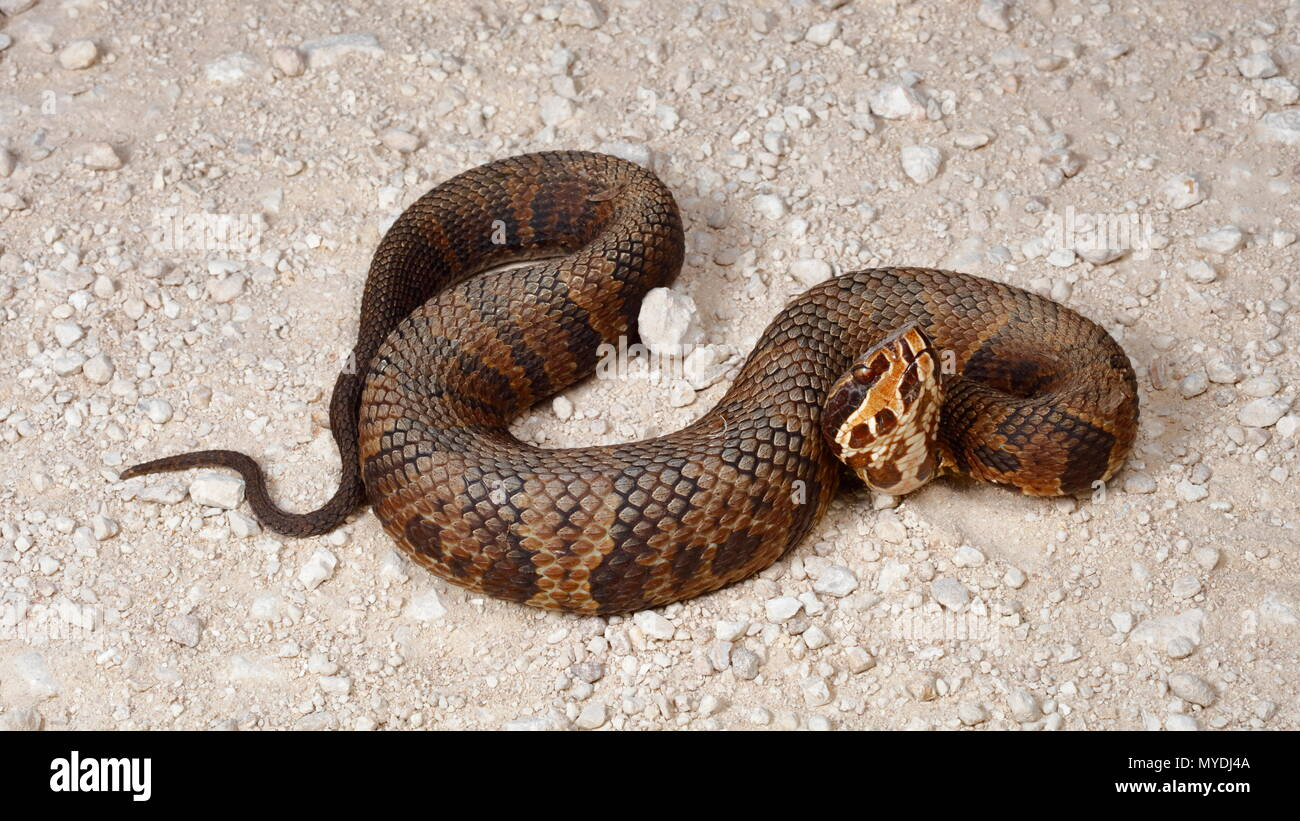images of a water moccasin.html