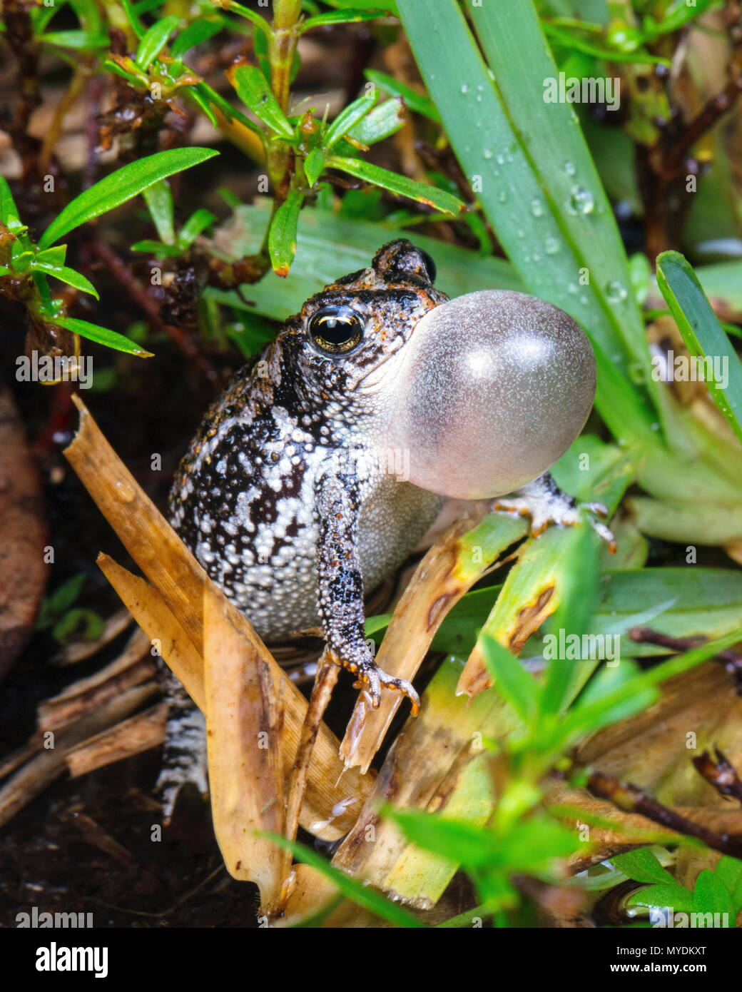 A tiny oak toad, Anaxyrus quercicus, calls for a mate with its vocal sac inflated. - Stock Image