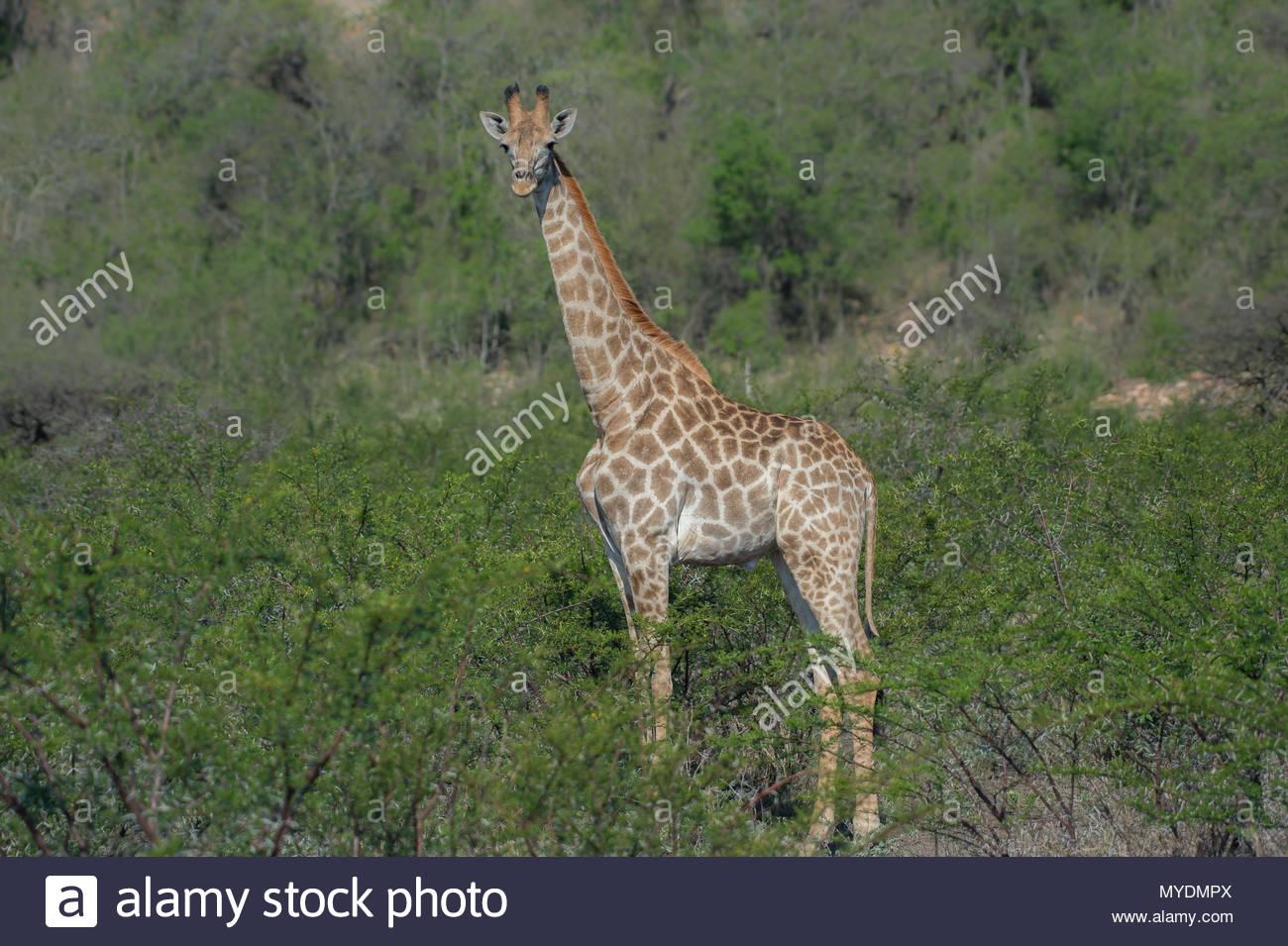 Giraffe stands tall among shrubbery. - Stock Image