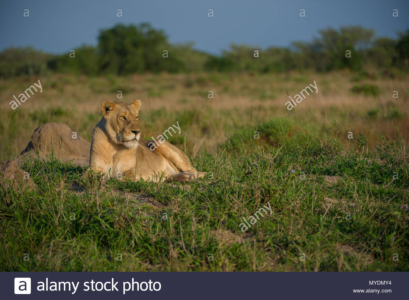 A female lion lies in the grass. - Stock Image