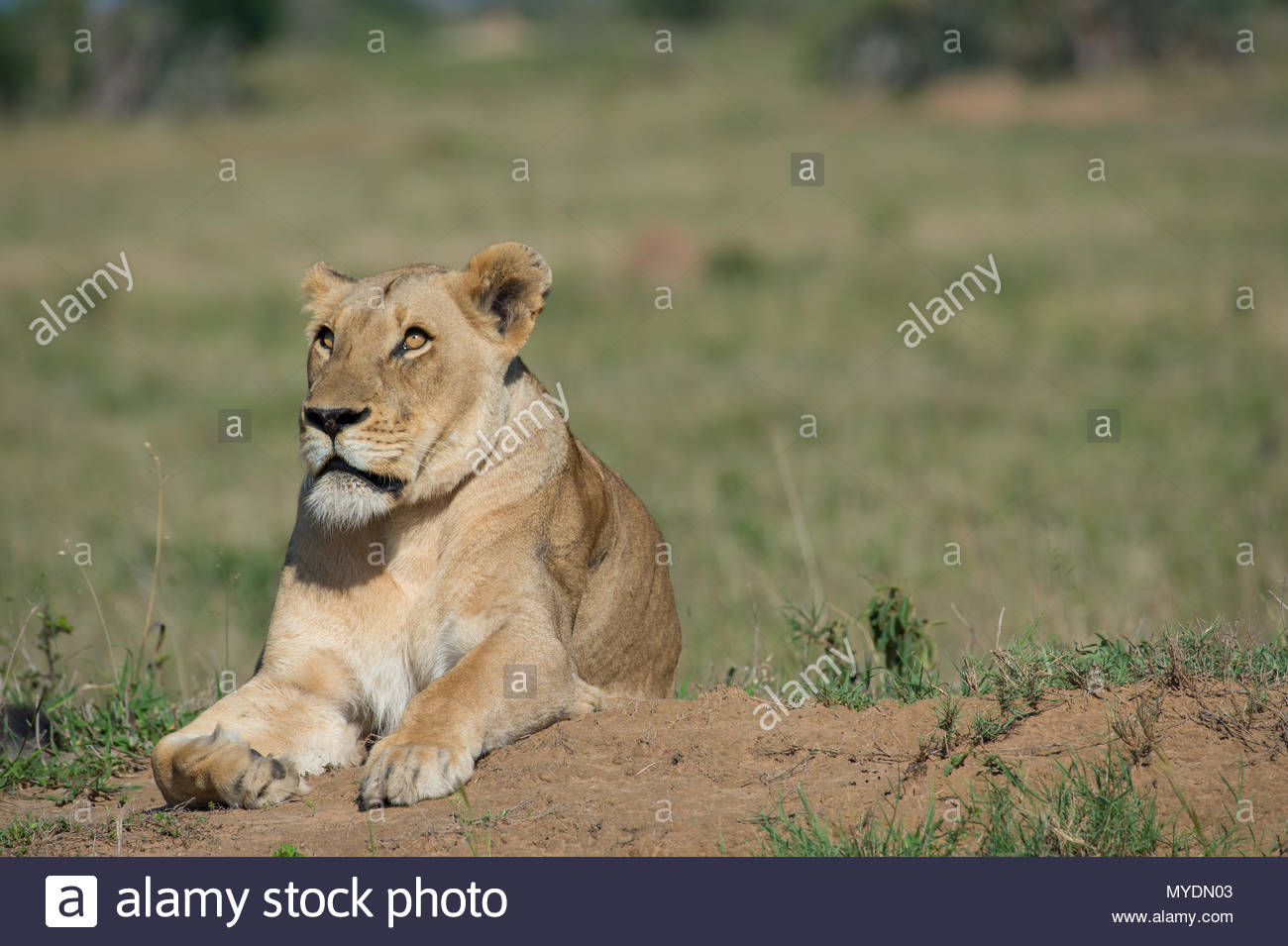 A female lion looks up. - Stock Image