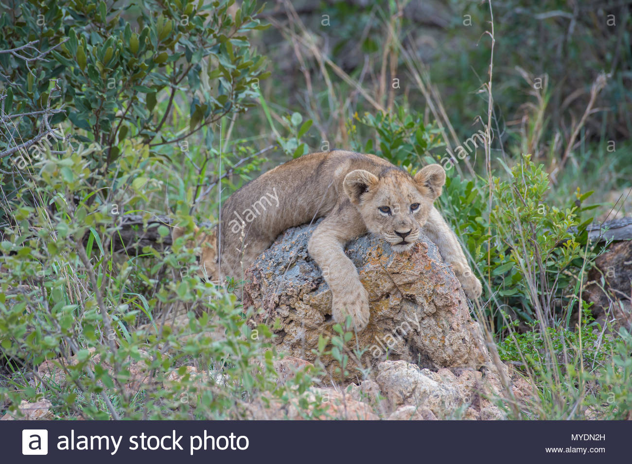 A young lion cub lounges atop a rock. - Stock Image