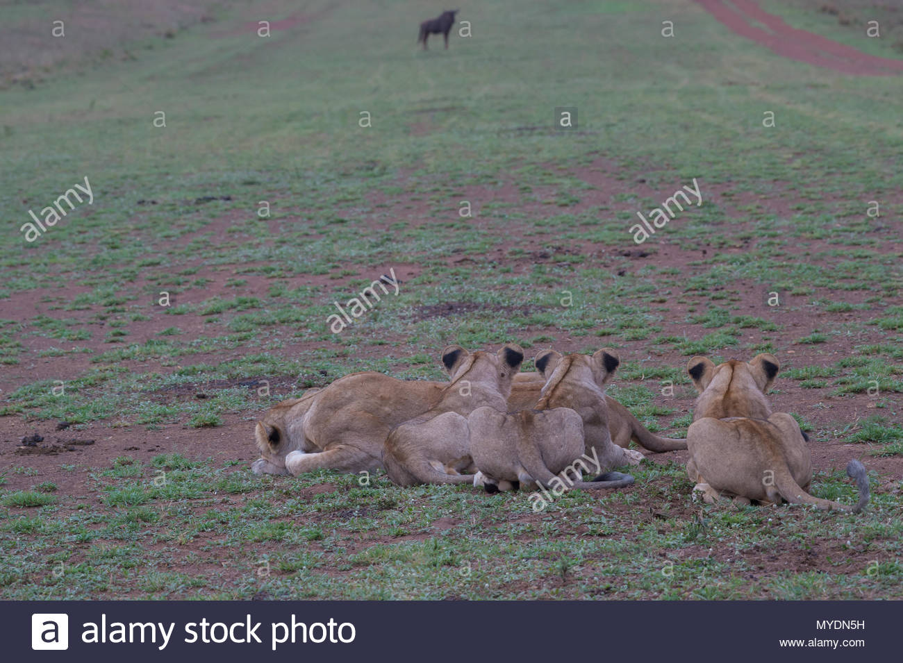Lions crouch in wait for wildebeest. - Stock Image