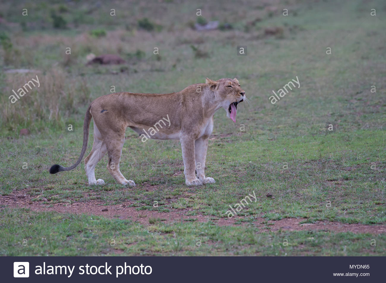 Side view of a yawning lioness. - Stock Image