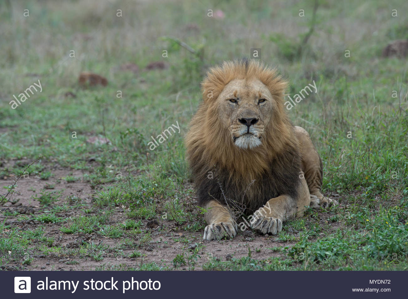 A male lion lying down. - Stock Image