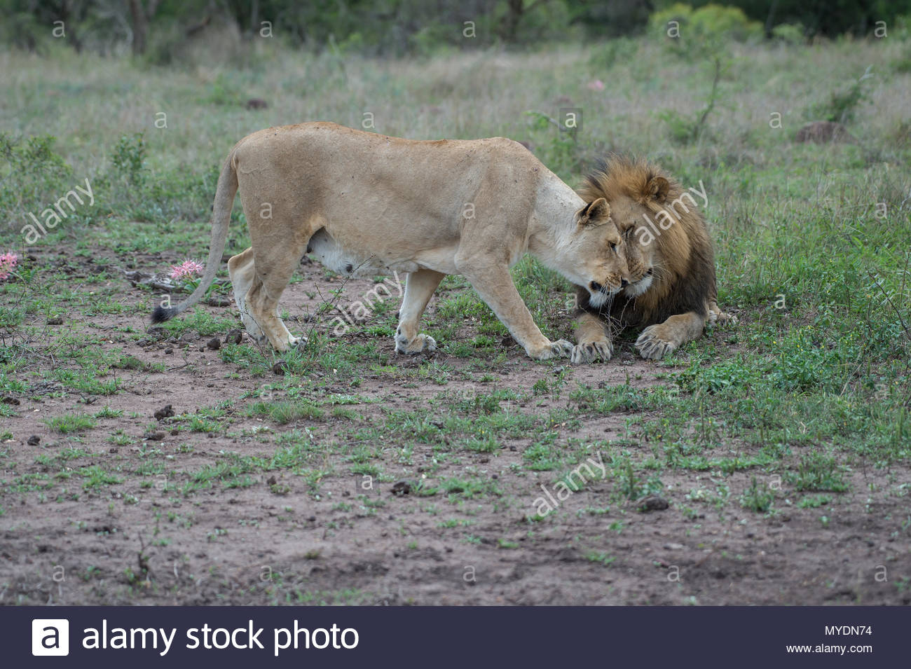 A pair of lions nuzzle. - Stock Image