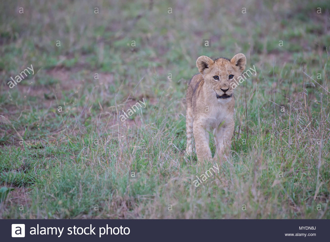 A lion cub in the grass. - Stock Image