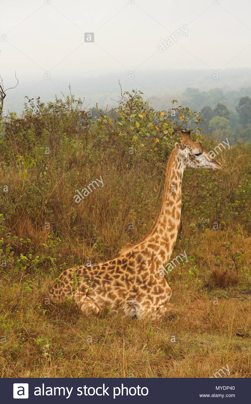 A Masai giraffe (Giraffa tippelskirchi) rests in the grass. - Stock Image