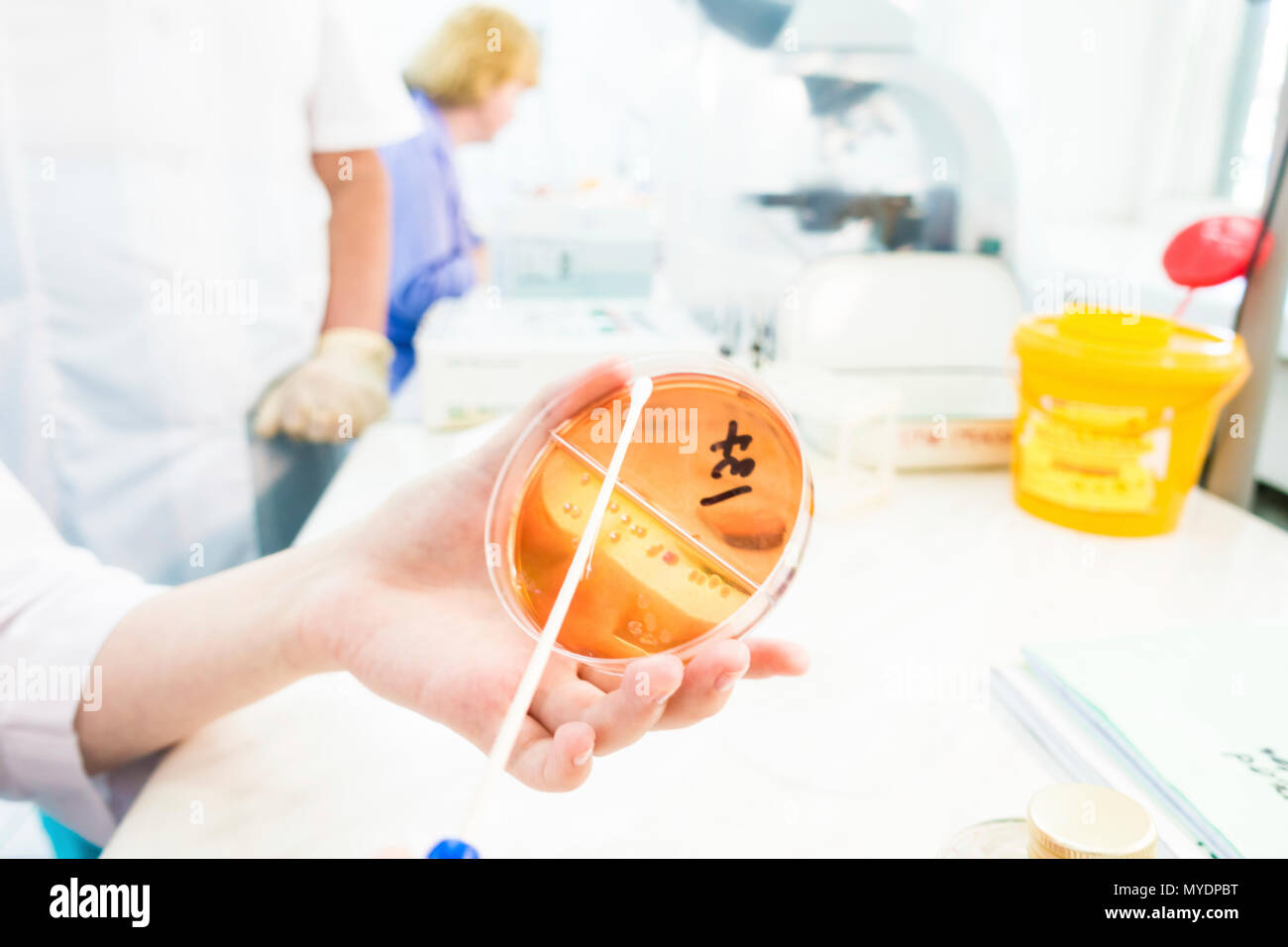 Microbiology research. Technician swabbing an agar plate. - Stock Image
