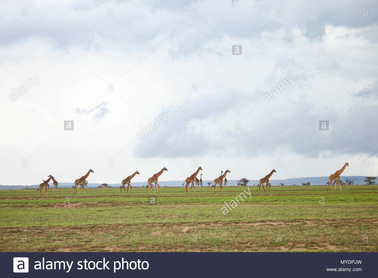 A herd of Masai giraffe walk across the Serengeti plains. - Stock Image