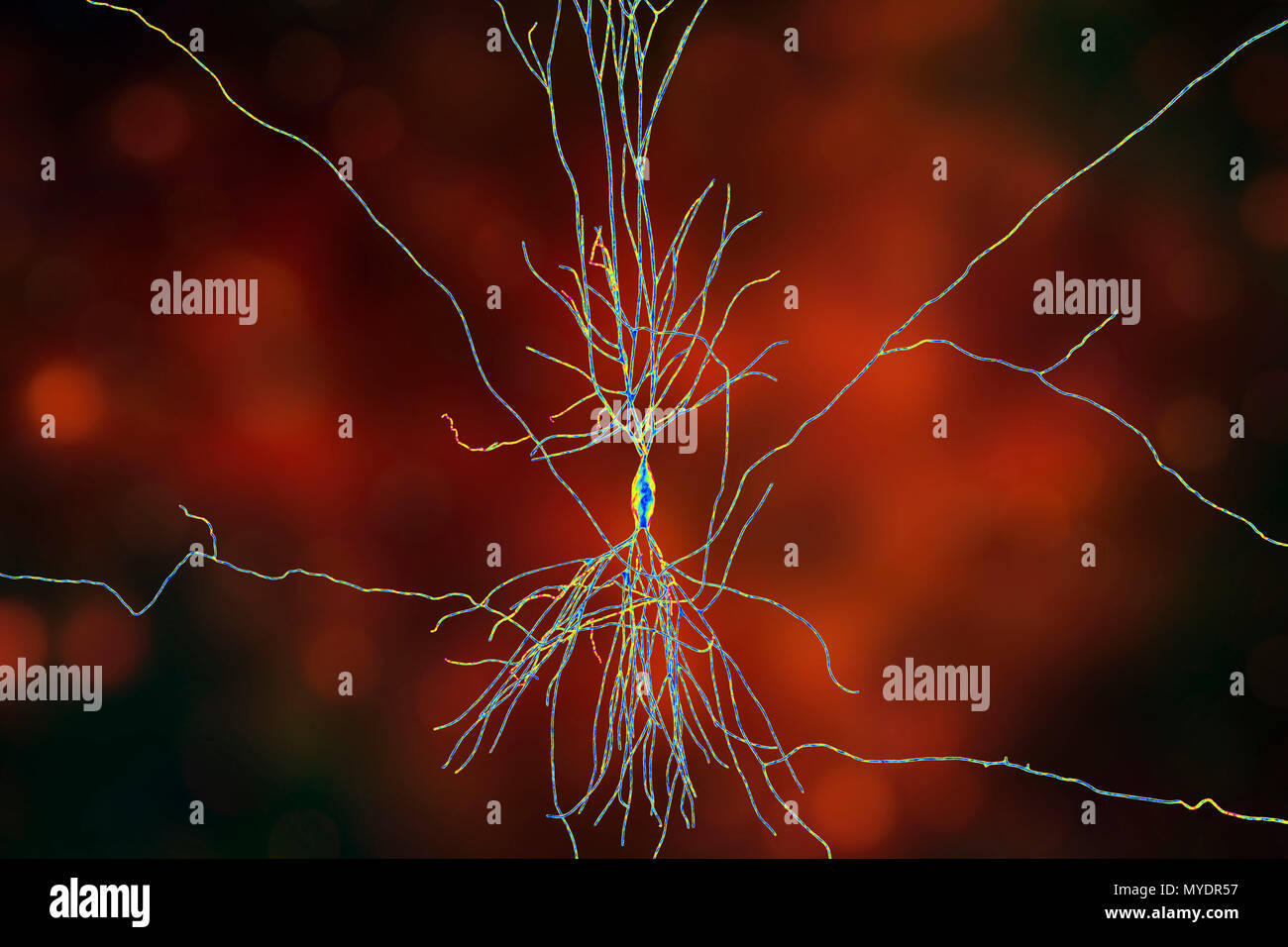 Hippocampus neuron, computer illustration. The hippocampus in humans is the structure in the brain responsible for long-term memory. - Stock Image