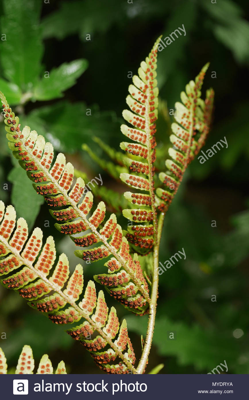The orange spores on the back of a fern leaf are arranged in parallel rows. Stock Photo