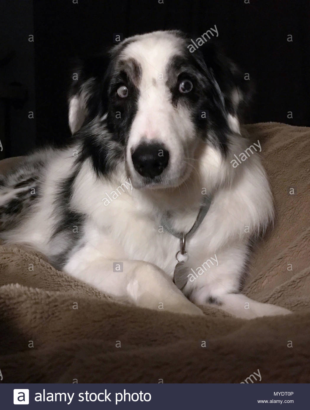 A double blue merle Australian Shepherd lies on a beige blanket and looks at the camera. - Stock Image