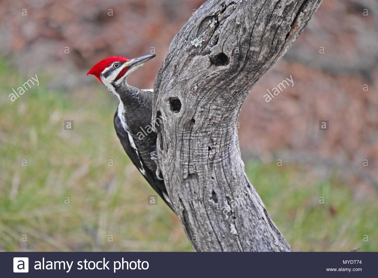 A male pileated woodpecker clings to the curve of a dead locust tree. - Stock Image