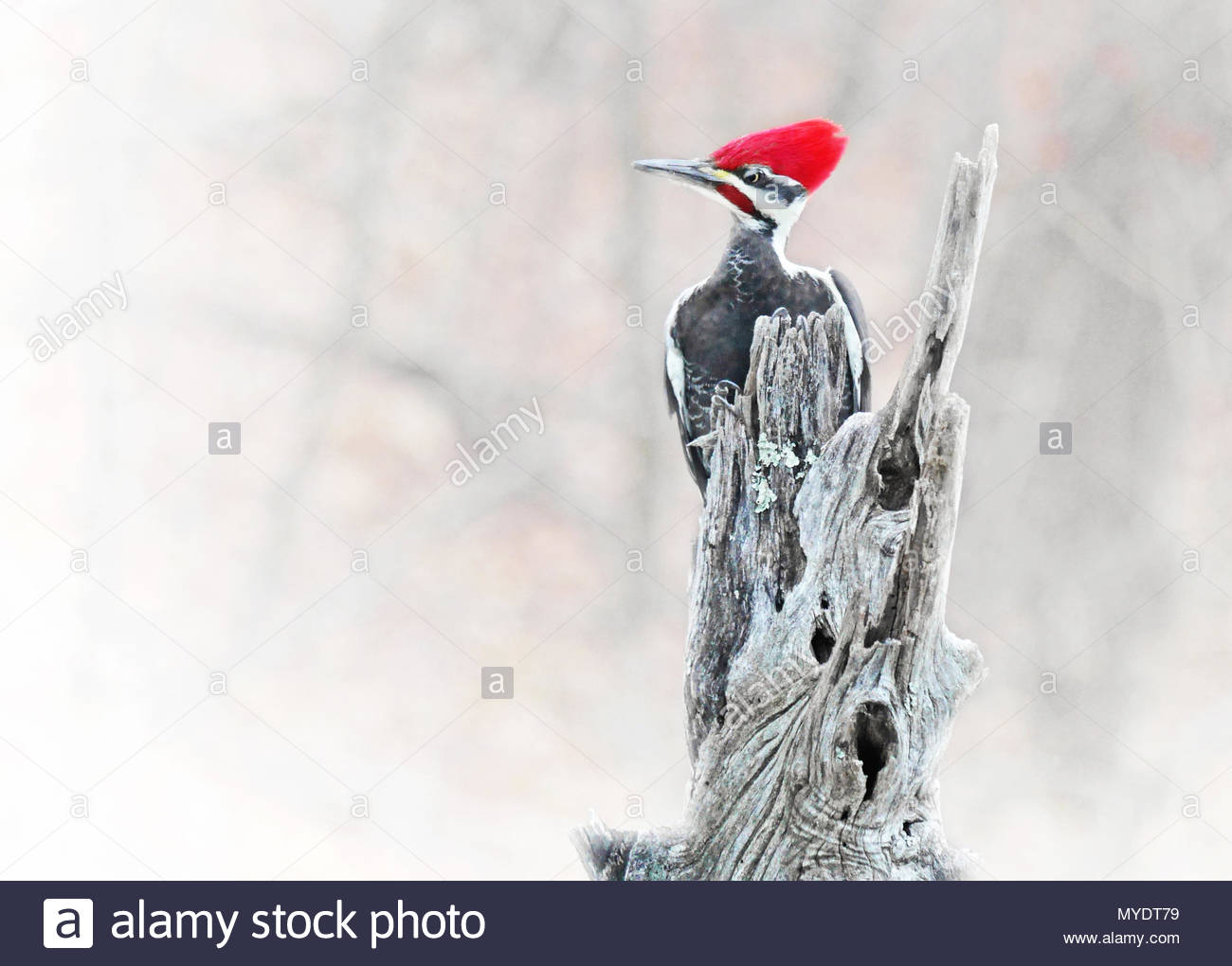 A rather annoyed looking male pileated woodpecker clings to the top of a locust tree post. - Stock Image