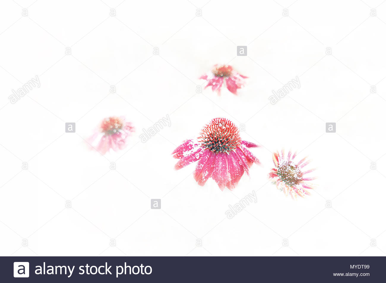 Snow-dusted Echinacea blossoms emerge from a bright white background. - Stock Image