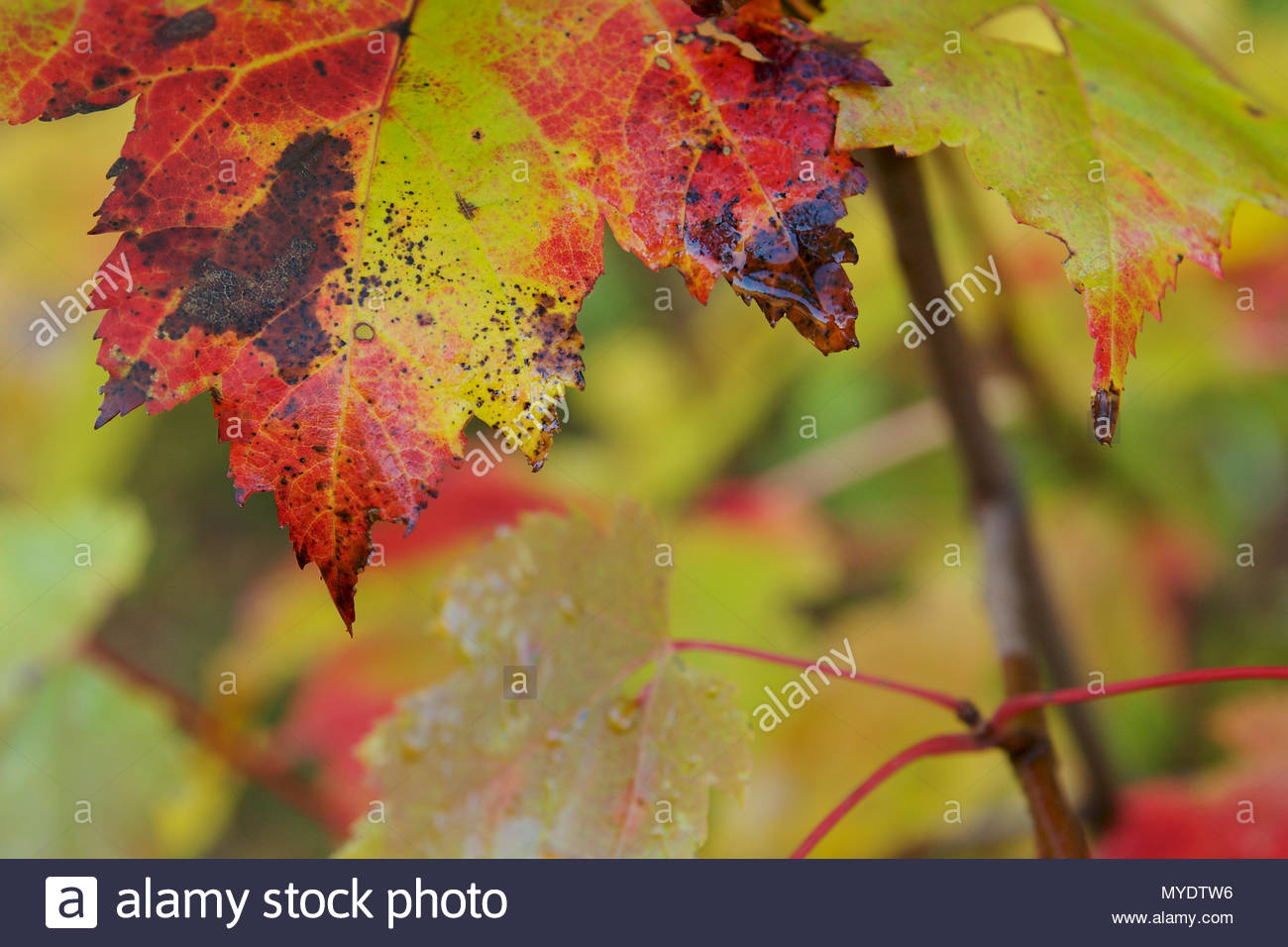 Maple leaves change colors in the fall. - Stock Image
