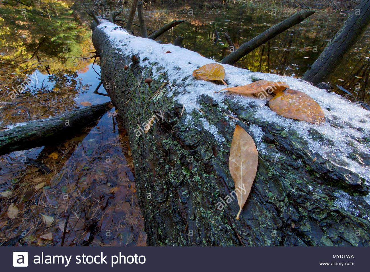 Snow and dry leaves on a tree trunk in Heywood's Meadow near Walden Pond. - Stock Image