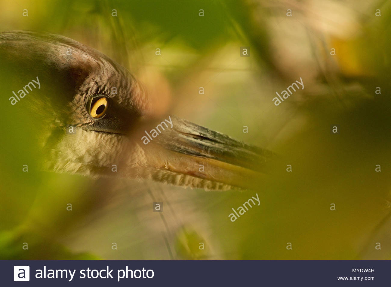 Close-up of a Great Blue Heron, Ardea herodias, hunting among green foliage. - Stock Image