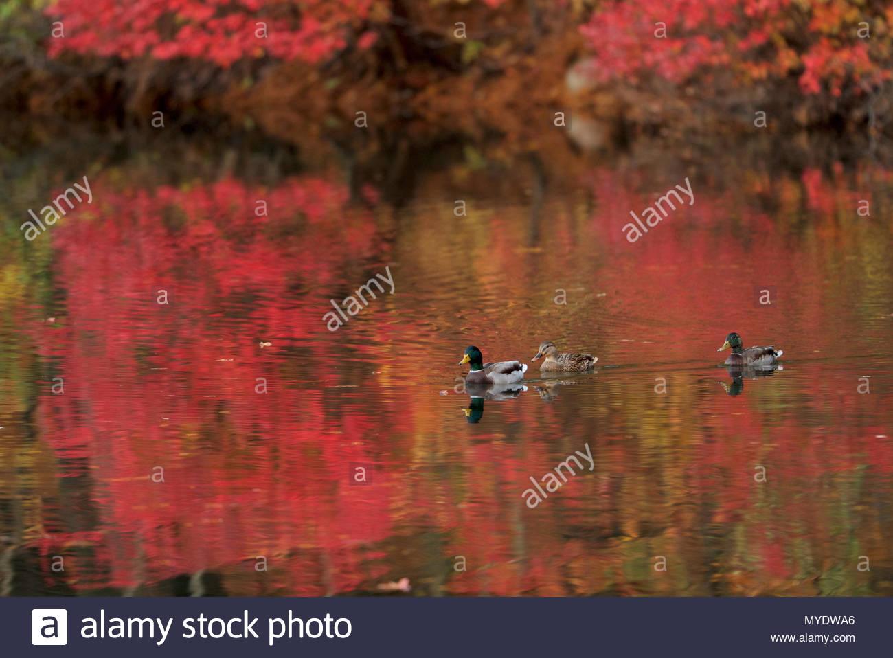 Mallards, Anas platyrhynchos, swim on Walden Pond. Stock Photo