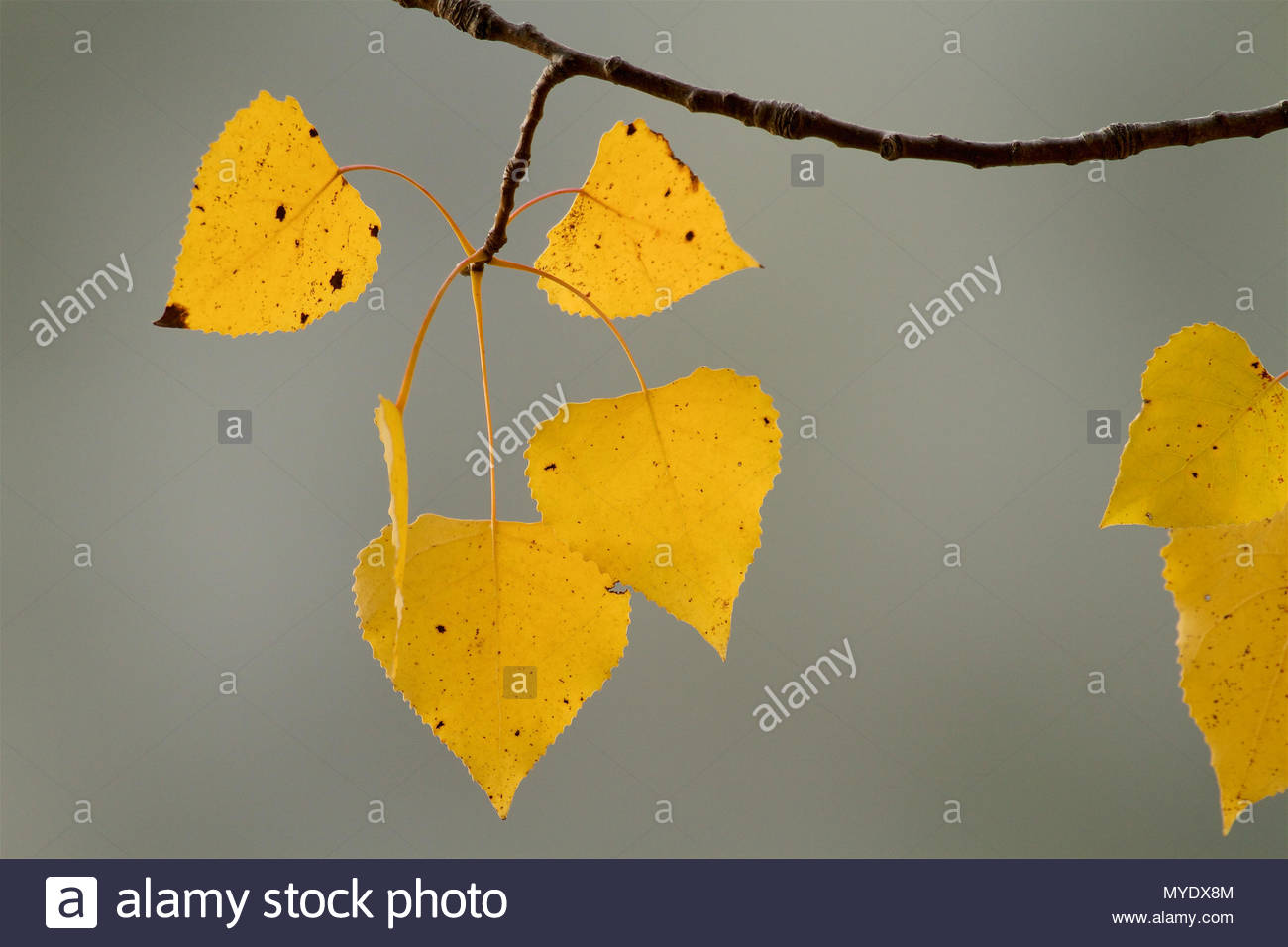 Yellow leaves of a gray birch, Betula populifolia, in autumn at Walden Pond. - Stock Image