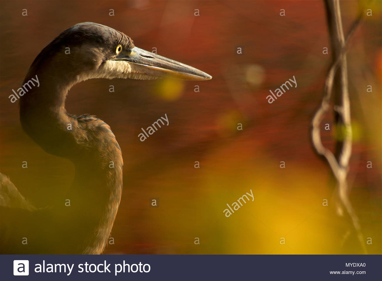 A side view portrait of a great blue heron, Ardea herodias,  though green foliage. - Stock Image