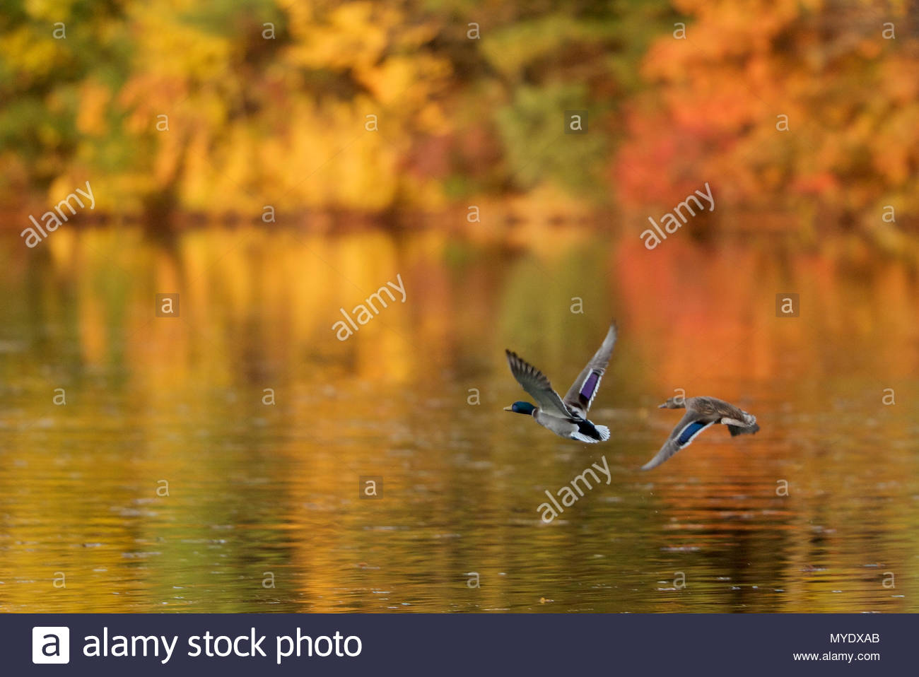 A mallard pair, Anas platyrhynchos, flies over Walden Pond in the fall. - Stock Image