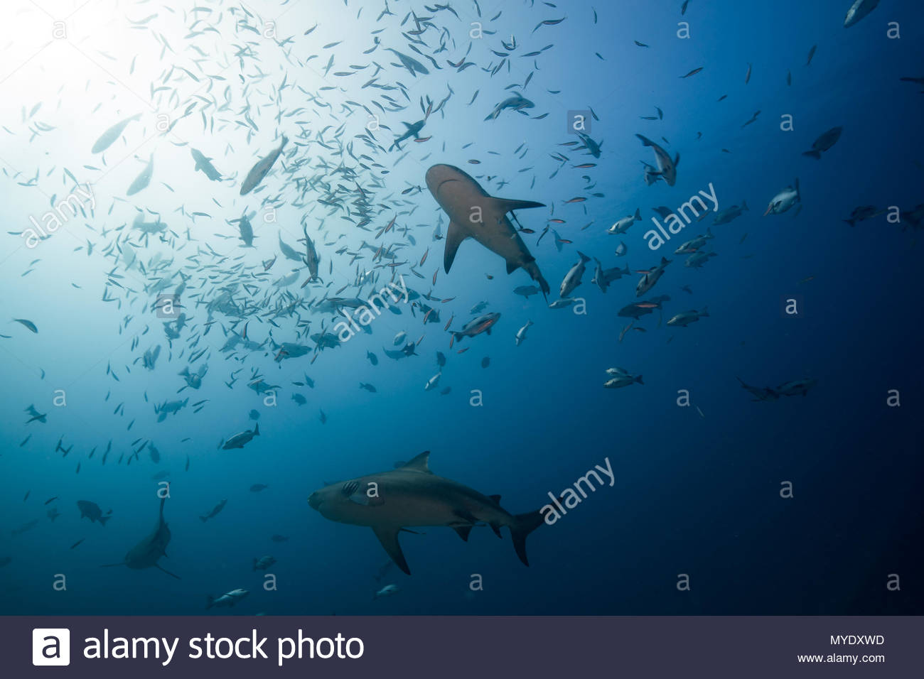 Bull sharks and a school of fish. - Stock Image