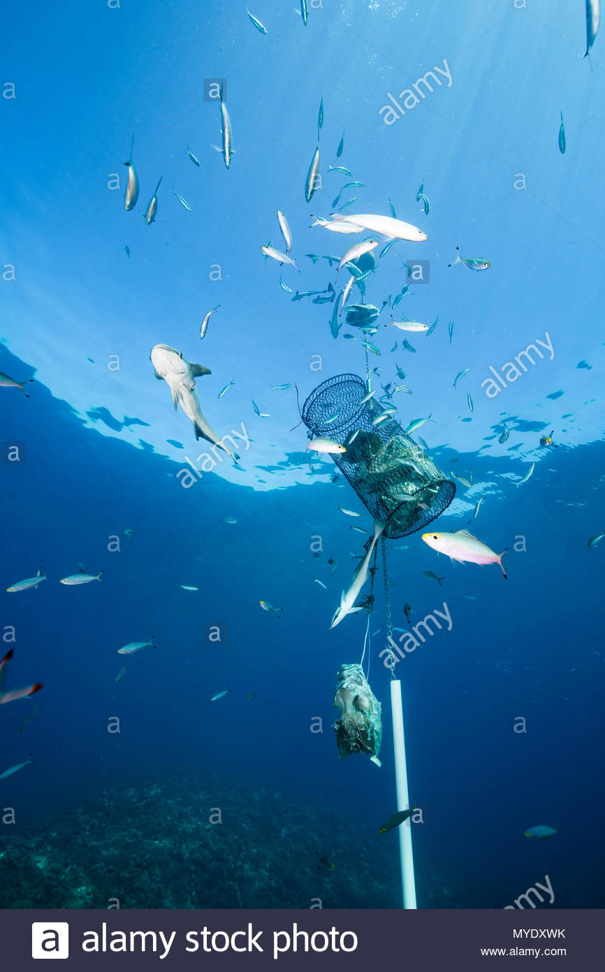 An underwater bait container attracts nearby sharks for tourist entertainment. - Stock Image