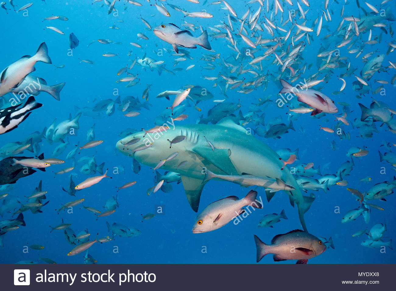 A bull shark, Carcharinus leucas, swims through a school of red snapper and fusiliers. - Stock Image