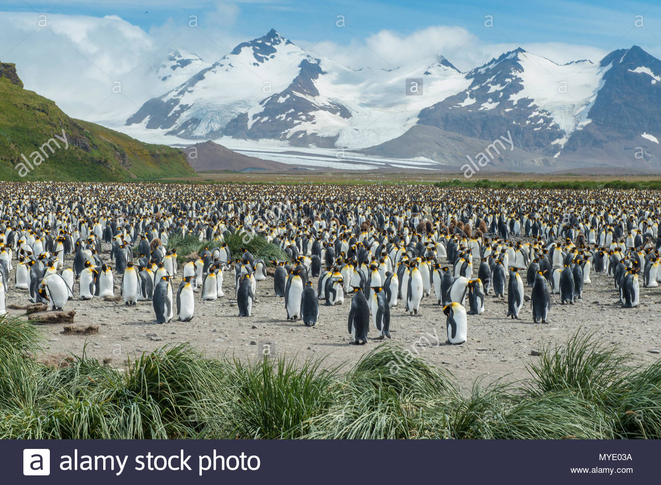 A large King penguin colony rrosts in a mountainous valley. - Stock Image