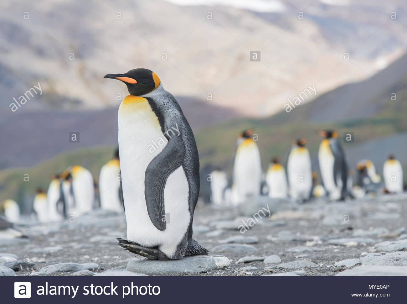 A King penguin at roost. - Stock Image