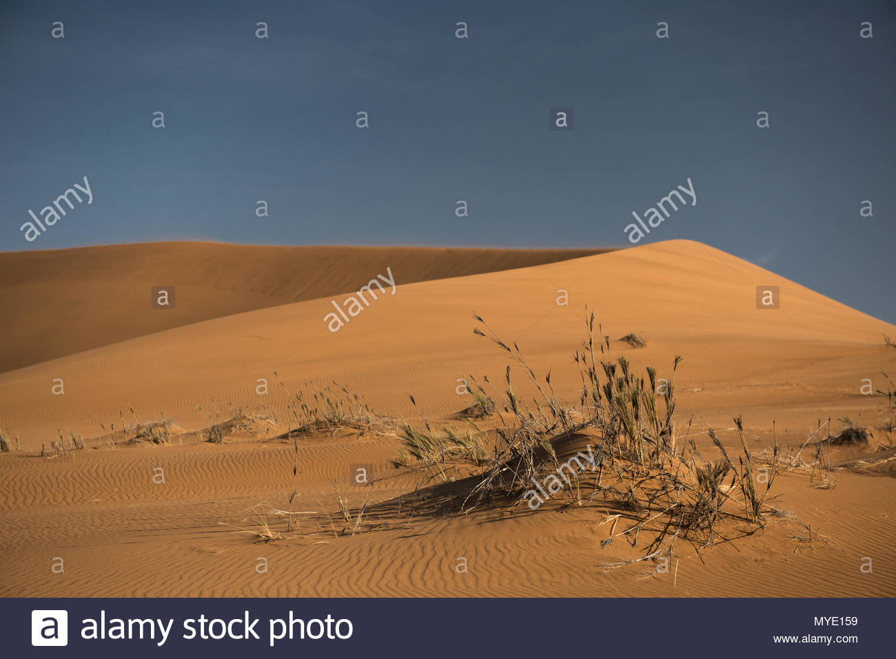 Sparse grasses grow by a sand dune in the desert. - Stock Image