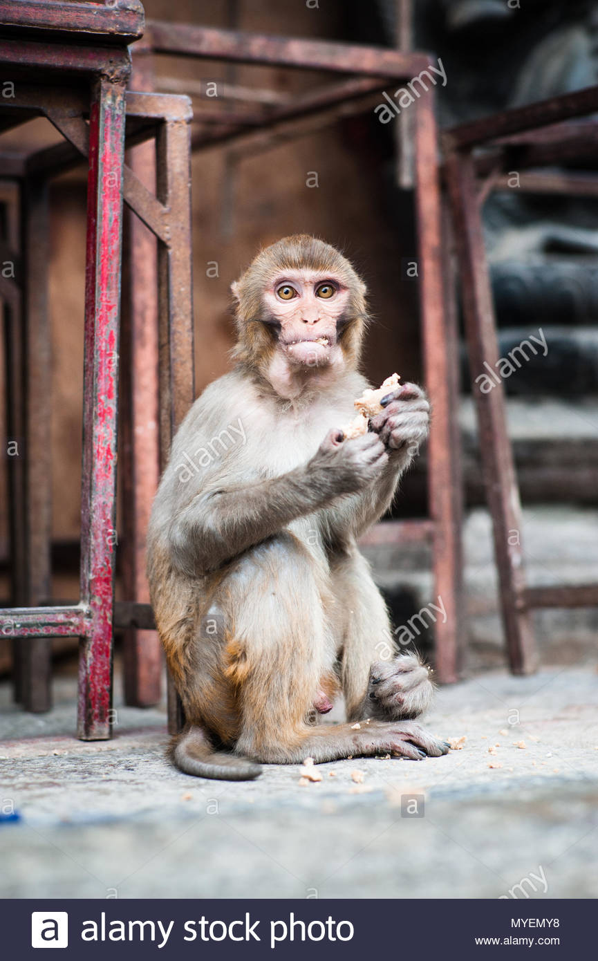 A macaque eats scraps of food left behind by visitors to the temple. - Stock Image