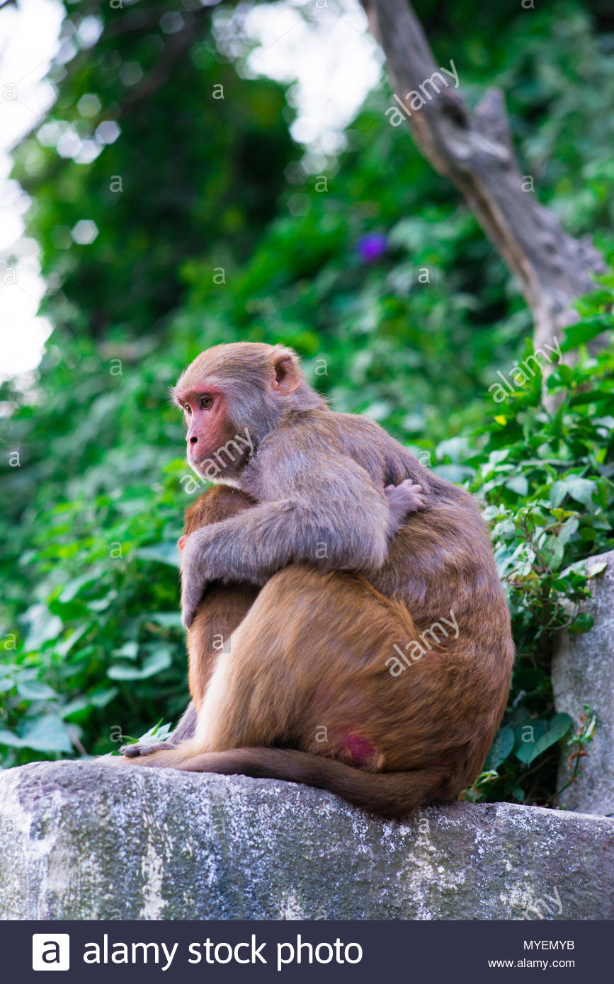 A female macaque embraces its young. - Stock Image