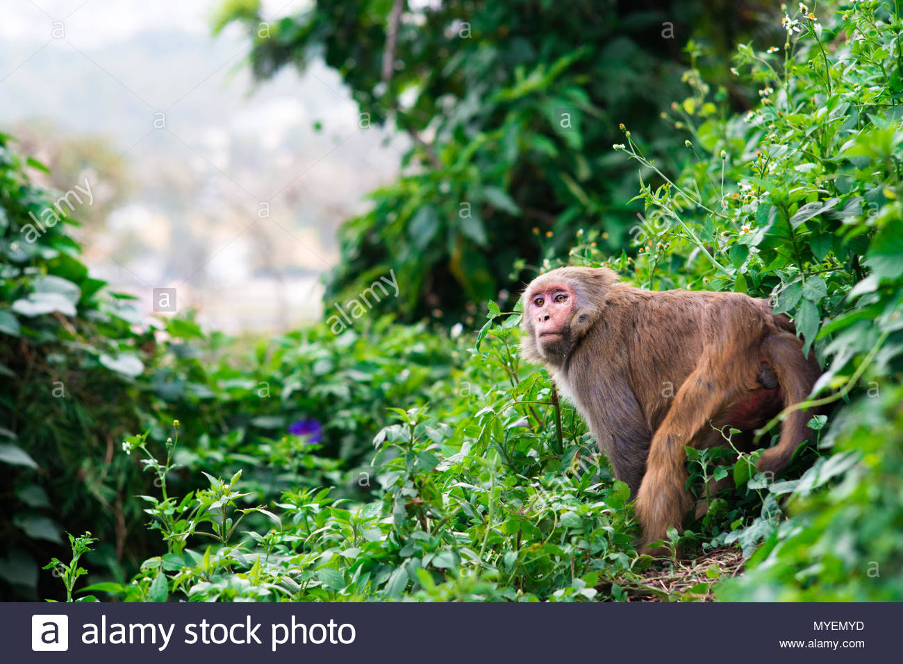 A macaque monkey amid lush greenery. - Stock Image