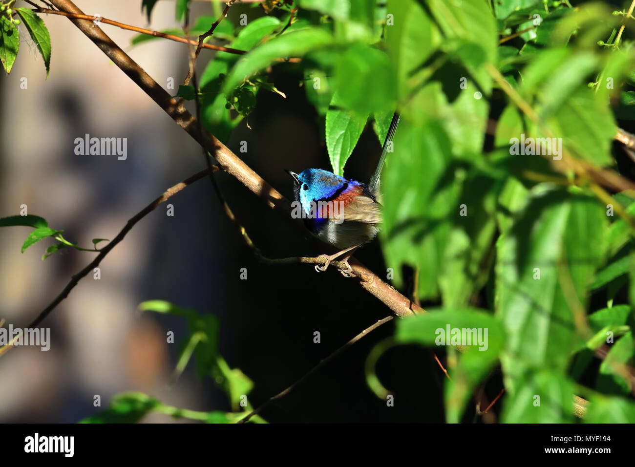 An Australian, Brisbane Queensland Male Variegated Fairy-wren, Malurus lamberti in thick bush looking for food - Stock Image