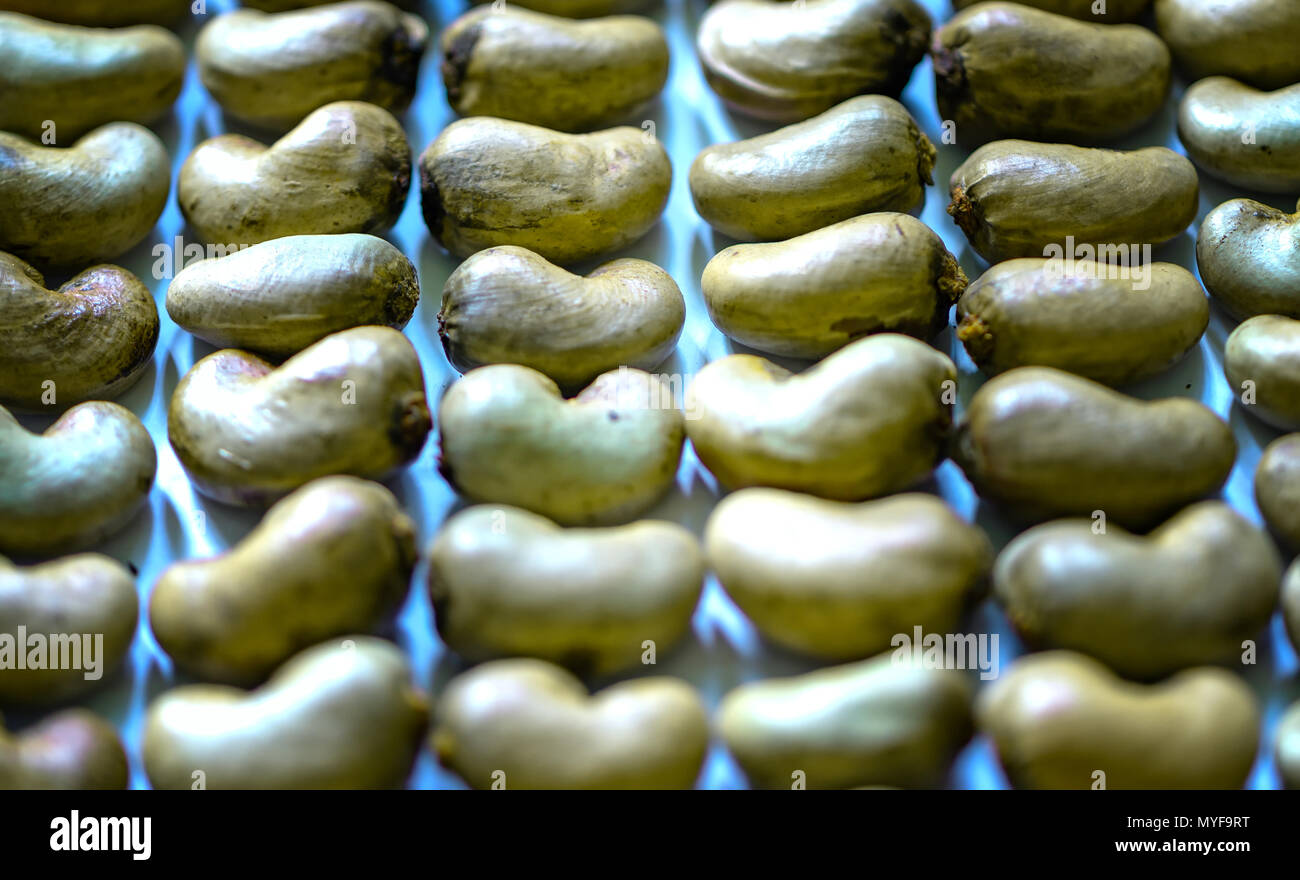 Raw cashew nuts martial intact after the harvest, this is more nutritious grains and unsaturated fats is beneficial for human health - Stock Image