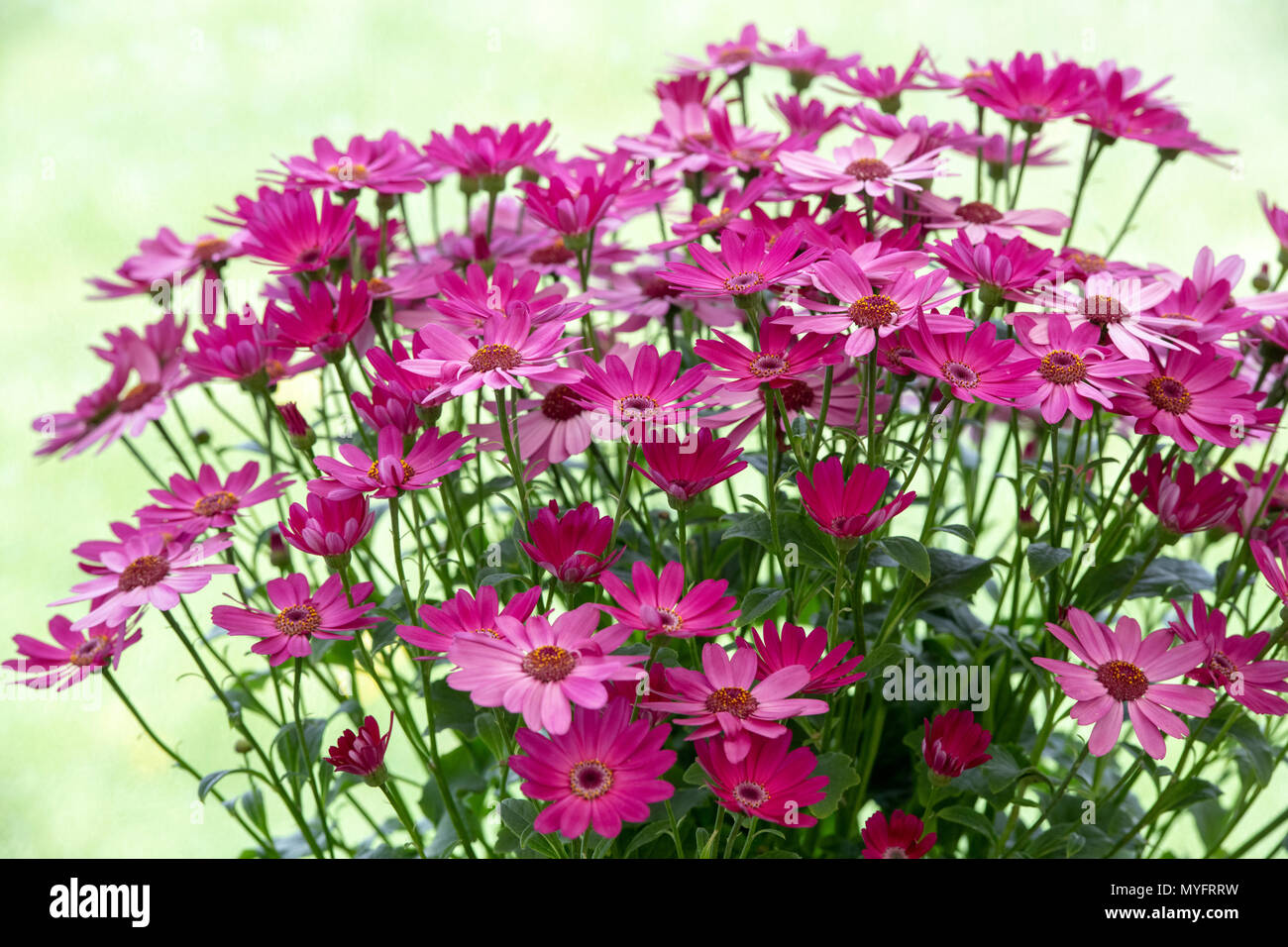 Senetti flowers on display at a flower show. UK - Stock Image