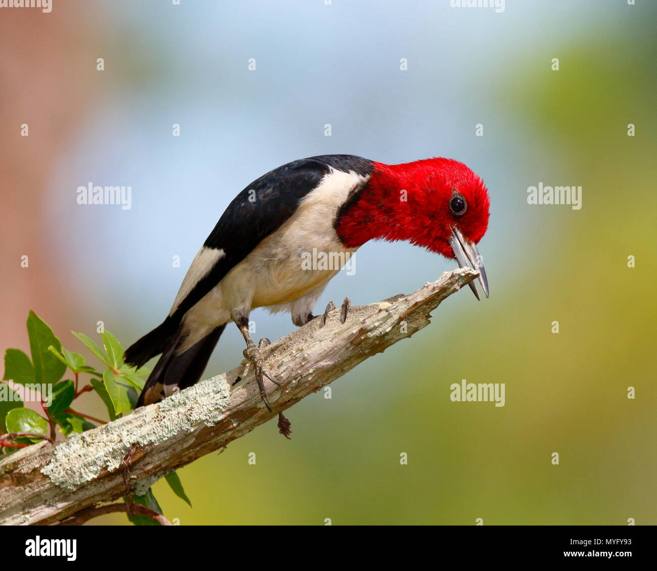 A red-headed woodpecker, Melanerpes erythrocephalus, sharpening its bill on a dead pine tree branch. - Stock Image
