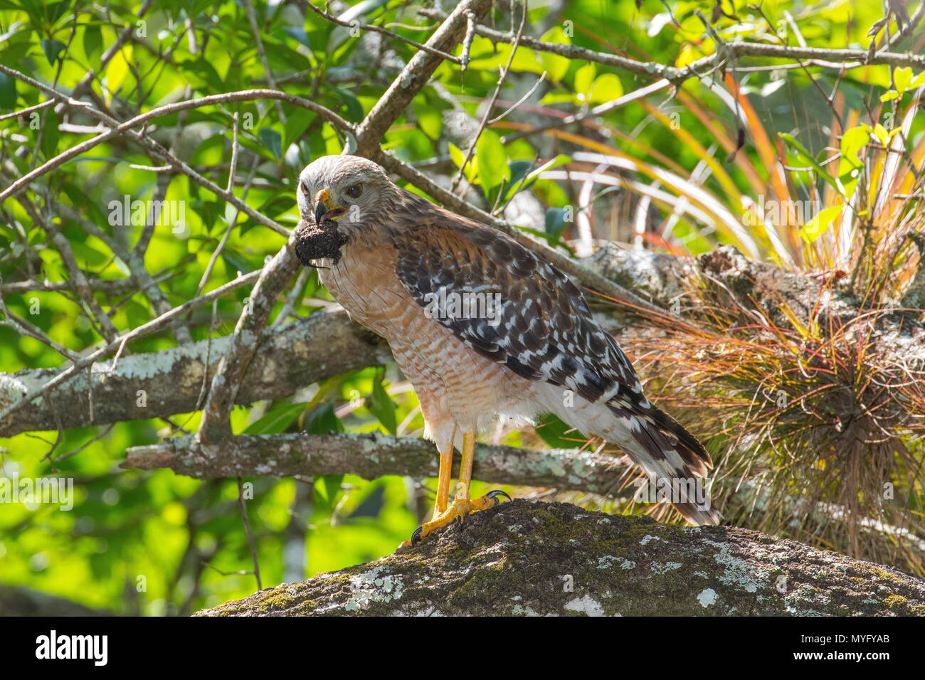 This red-shouldered hawk, Buteo lineatus, eating a Florida snapping turtle, Chelydra serpentina oceola. - Stock Image
