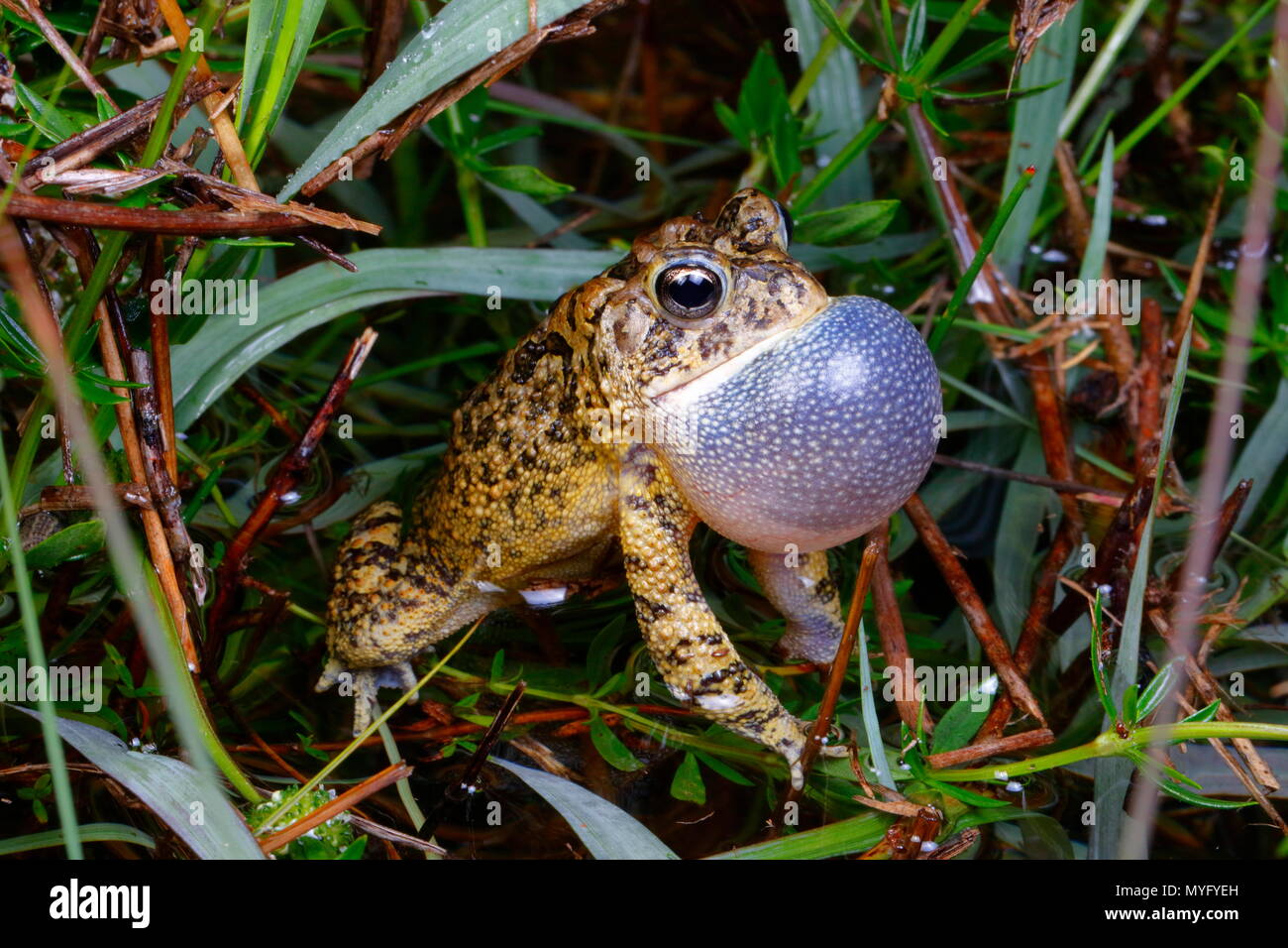 A southern toad, Bufo terrestris, with its vocal sac inflated, calling for a mate. - Stock Image
