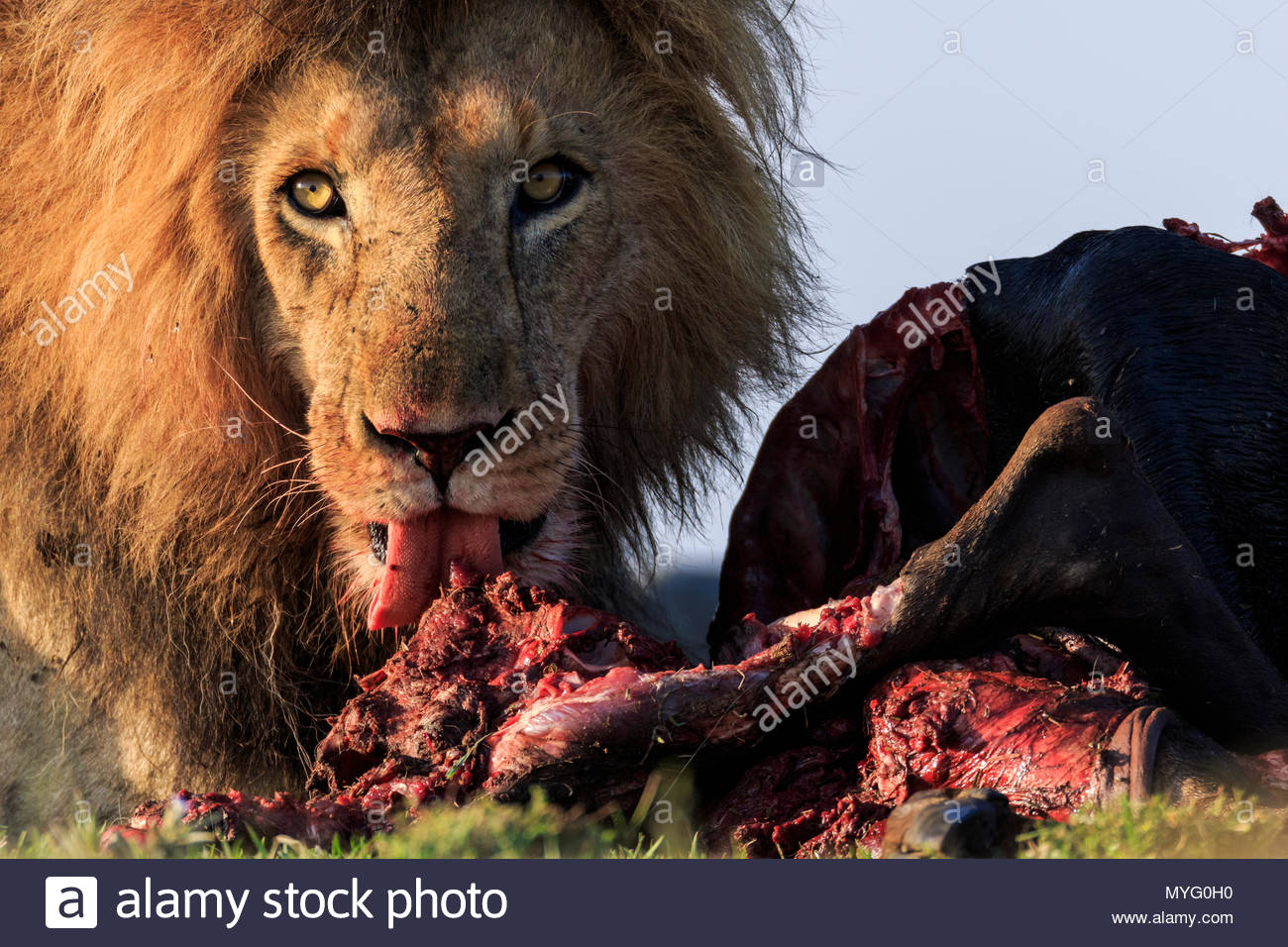 A male lion (Panthera leo) feasts on a downed wildebeest. - Stock Image