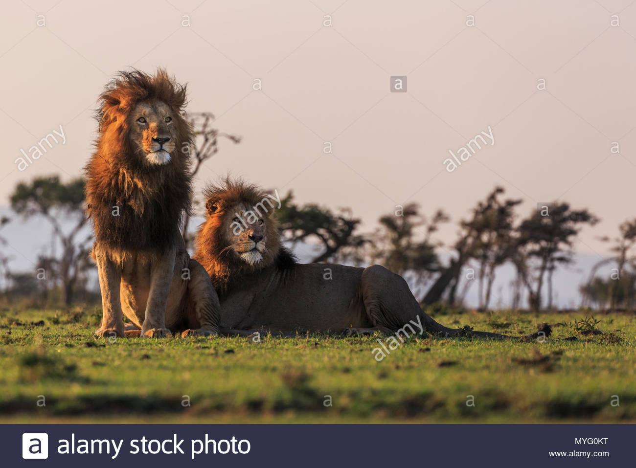 Two male lions (Panthera leo). - Stock Image