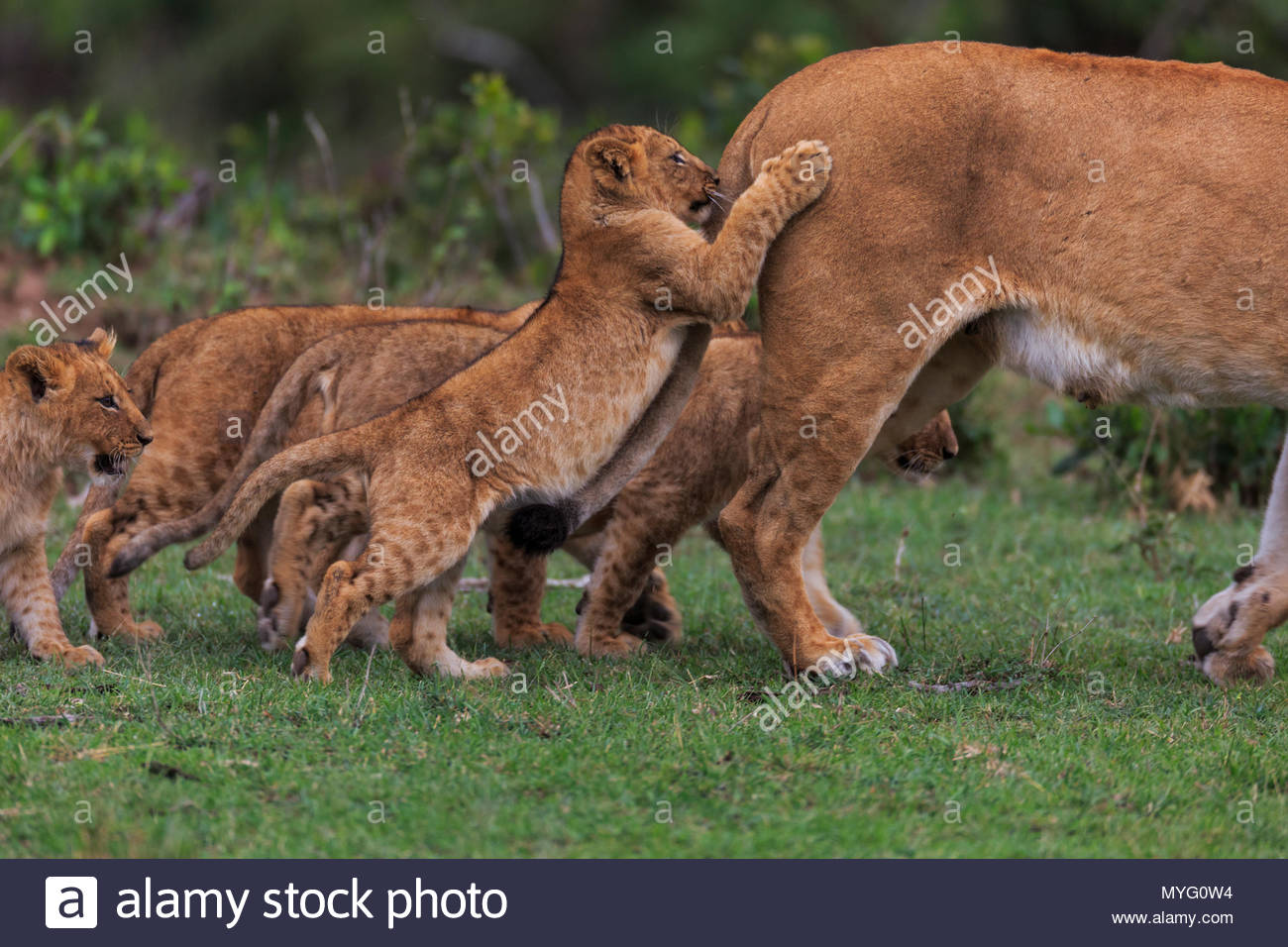 A lion exits the frame with her cubs in tow. - Stock Image